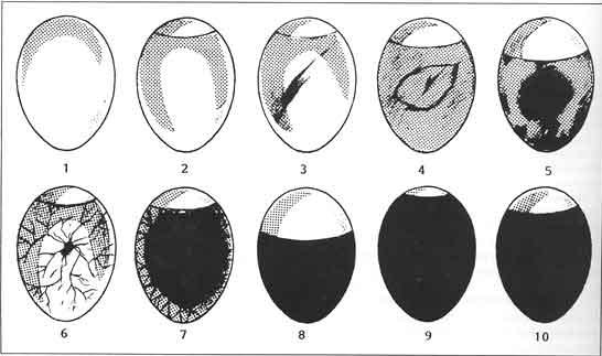Äggschema, äggutveckling