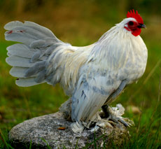 höns med fjädrar på benen