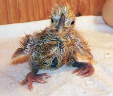 Nykläckt kyckling, japanska silkeshöns